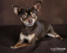 Meet Jose, a Petfinder adoptable Chihuahua Dog | Blaine, MN | Jose came in from animal control with his brother Juan after no one claimed them. Juan has been...