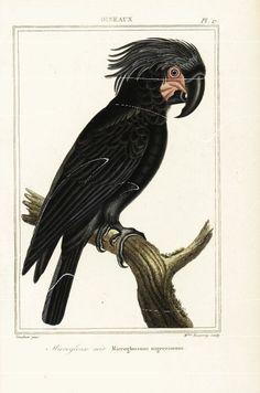 Antique Natural History Bird Print Print  The by RarePostCards