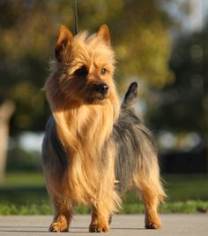 Some dog breeds are easier to train because of their abilities to learn faster, retain more of what they learn and an eagerness to please their owner by obeying commands. Dogs who are easier to train are not necessarily smarter than other dogs, Australian Terrier Puppies, Norfolk Terrier Puppies, Terrier Rescue, Terrier Dogs, Cairn Terriers, List Of Small Dogs, Dutch Shepherd Dog, Belgian Shepherd, Pet Dogs