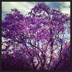 Purple tree in bloom.