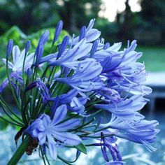 Agapanthus are not only another striking blue flower, but also wonderful to use in cut flower arrangements.