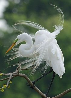 A great egret shows off its breeding plumage in our spotting of the day. Early in the breeding season adults grow long plumes on their backs, which they raise in courtship displays. Great egret (Ardea alba) spotted by SusanEllison Pretty Birds, Beautiful Birds, Animals Beautiful, Exotic Birds, Colorful Birds, All Birds, Love Birds, Animals And Pets, Cute Animals