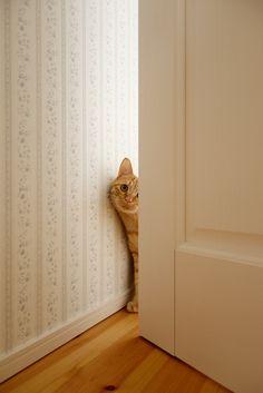 stalking tabby cat looks exactly like the brew moose peeking around the door.