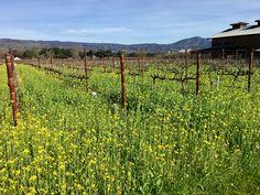 Tasting Room, Napa Valley, Red Wine, Mustard, Vineyard, February, Shop, Outdoor, Outdoors