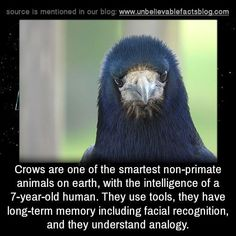 Crows are one of the smartest non-primate animals on earth, with the intelligence of a human. They use tools, they have a long-term memory including facial recognition, and they understand analogy. Animals And Pets, Funny Animals, Cute Animals, Wild Animals, Wtf Fun Facts, Funny Facts, Odd Facts, Random Facts, Crow Facts