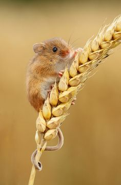Harvest Mouse....by Daniel Trim