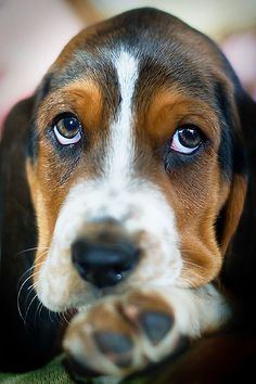 Basset Hound Puppy Dog Puppies Hound Dogs. oh my gosh, this reminds me of my puppy!