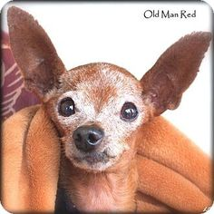 old man ruff Breed:Miniature Pinscher MixColor:Red/Golden/Orange/Chestnut - With WhiteAge:Senior  Size:Small 25 lbs (11 kg) or lessSex:Male  I am already neutered, housetrained, up to date with shots, good with dogs, and good with cats.