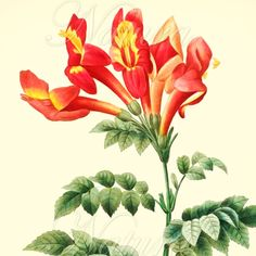 red flower illustration 188, botanical art print produced from a vintage book plate.
