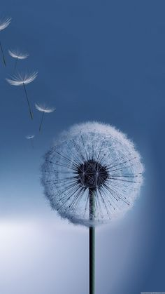 Galaxy S4 HD Dandelion Desktop 1080×1920 Samsung Wallpape8rs_Samsung