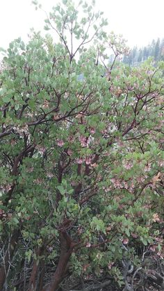 Manzanita Tree Blossoms ☺