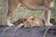 In the protection of the mama. | Im Schutz der Mama. | Lions in Masai Mara. | Kenya. |  More:  www.ingogerlach.com