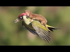 Une belette tentant d'attraper un pic-vert. Absolutely incredible photo by Martin Le-May. A green Woodpecker and a Weasel. Apparently the Woodpecker escaped. Lazy Animals, Animals And Pets, Funny Animals, Cute Animals, Funniest Animals, Nature Animals, Green Woodpecker, Pic Vert, Animal Gato