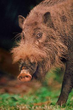 Bearded pig, Sus barbatus, Bako National Park, Borneo