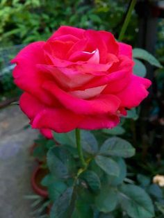Beautiful Rose Flowers, Botanical Gardens, Home And Garden, Bouquet, Landscape, Artwork, Plants, Gardening, Garden Roses