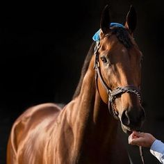 american pharoah pictures - Google Search