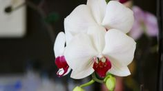 """""""How to Grow Breathtaking Orchids… Even If You've Never Raised One Before! Orchid Propagation, Growing Orchids, Orchid Plants, Secrets Revealed, Orchid Care, Free, Wallpaper, Flowers, Beautiful"""