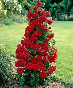 Rose A Fontana Excelsa - Cespuglio