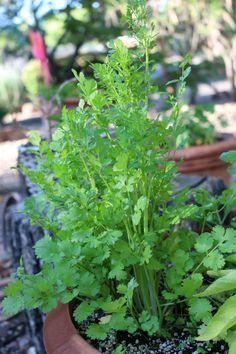 A Cilantro Herb rese