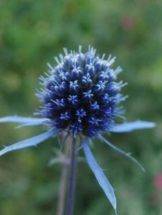 Mine planter: Eryngium bourgatii, Pyrenestikle