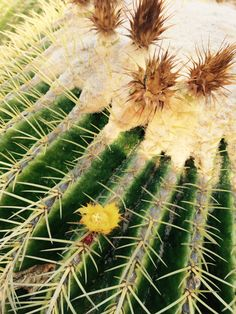 How to safely plant a barrel cactus.