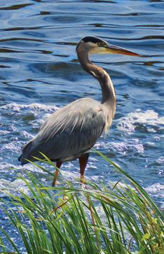 The tall, long-legged great blue heron is the most common and largest of North American herons. Great blue herons are waders, typically seen along coastlines, in marshes, or near the shores of ponds o