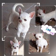 Chihuahua, French Bulldog, Ice, Dogs, Animals, Animales, Animaux, French Bulldog Shedding, Pet Dogs
