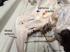 Muscles of the Cat