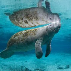 """It's These gentle giants can grow to over 14 feet in length and weigh over pounds. Also, known as """"sea… Rare Animals, Animals And Pets, Saltwater Tank, Saltwater Aquarium, Ocean Habitat, Ocean Aquarium, Sea Cow, Interesting Animals, Underwater Life"""