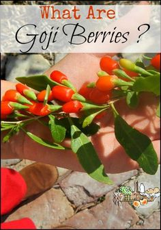 What are Goji Berries l The superfood Goji or Wolf berry is easy to grow and use l Homestead Lady (.com)