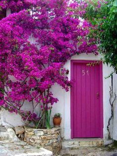Buganvília perfeita com flores lindas