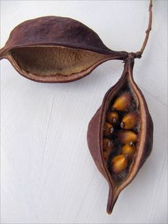 Kurrajong pods, from a Brachychiton (or Kurrajong Bottletree). By Ereisa Wells Gentile.
