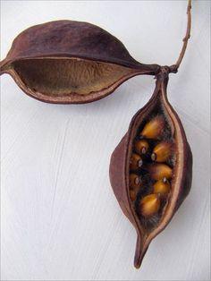 Kurrajong pods, from a Brachychiton (or Kurrajong Bottletree). By Ereisa Wells Gentile.