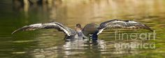 An image of a loon chick on the parents back with the parents wings extended