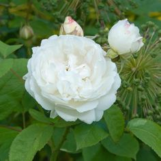 WINCHESTER CATHEDRAL - David Austin Roses. Shrub Rose. Produces masses of fragrant blooms throughout the summer. Attractive, loose-petaled, white flowers. Delicious Old Rose fragrance with hints of honey and almond blossom. Very free-flowering.