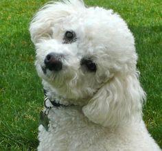 Ozzy the Bichon Frise. Looks like my Sporty Dog. :)