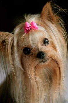 Yorkie with bow.