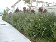 Plant photo of: Westringia fruticosa 'Wynyabbie Gem'