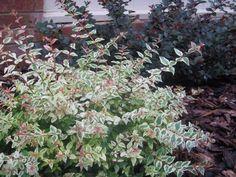 Abelia grandiflora x chinensis 'Mardi Gras' - Mardi Gras Abelia. Perfect for under low windows architect's love. Evergreen, colorful, and contrast excellent with purple shrubs.