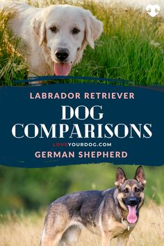 According to the American Kennel Club (AKC) the German Shepherd is the second most popular dog breed in America, and the Labrador Retriever tops the charts at number 1 out of 193 recognized dog breeds. So, these two breeds are definitely worth talking about! #LoveYourDog #GermanShepherd #DogInformation #LabradorRetriever #Lab #BestFamilyDog #FamilyDog Best Dogs For Families, Family Dogs, Dog Comparison, German Shepherd Breeds, Dog Information, Most Popular Dog Breeds, R Dogs, Labrador Retriever Dog, Charts