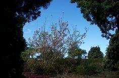 The Magnolia Tree in our Herb Garden 14/01/2014 - Quinta do Furão, Madeira Island, Portugal