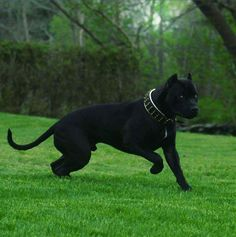 Cane Corso Looks like a panther!!! No to the collar!