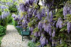 A mature wisteria vine is stunning, but it takes a confident gardener to tame this vigorous grower.