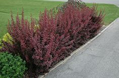 Cercis Canadensis Ruby Falls Living Sculpture Ruby