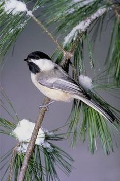 Chickadee's Wisdom includes: -the bird of truth -truthful expressions -understading the power of small things -all aspects of attitude -use of voice
