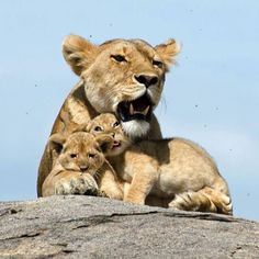 Lioness with 2 cubs. Photography by @ (YARON SCHMID). This lioness was nursing her cubs on top of a beautiful rock in a nice sunny day. You could see how much love is there between the mother and. Lioness And Cub Tattoo, Lioness And Cubs, Big Cats, Cats And Kittens, Cute Cats, Beautiful Cats, Animals Beautiful, Beautiful Family, Animals And Pets