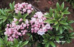 Image result for kalmia latifolia