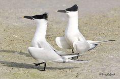 Sandwich Tern, Florida