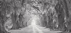 Old allee', Evergreen Plantation, afternoon light - National ...