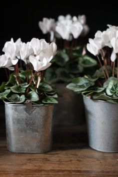 Cyclamen in galvanized pots for an eclectic tablescape.  http://www.annabelchaffer.com/categories/Dining-Accessories/a